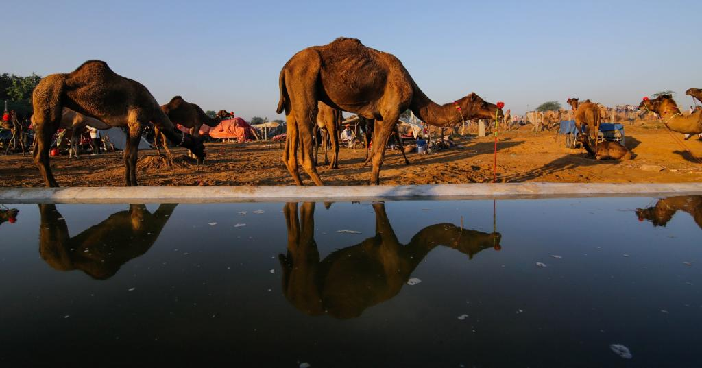 Overall, the camel population in India declined from 4 lakh in 2012 to just 2.5 lakh in 2019. In Rajasthan, it decreased from 3.26 lakh to 2.13 lakh, in Gujarat from 30,000 to 28,000, in Haryana from 19,000 to 5,000 and in Uttar pradesh from 8,000 to just 2,000. Photo by Vikas Choudhary