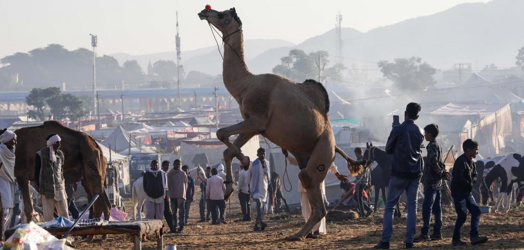 This year's Pushkar animal fair held between November 3-12, was disappointing as far as the main attraction, the camel is concerned. Photo by Vikas Choudhary