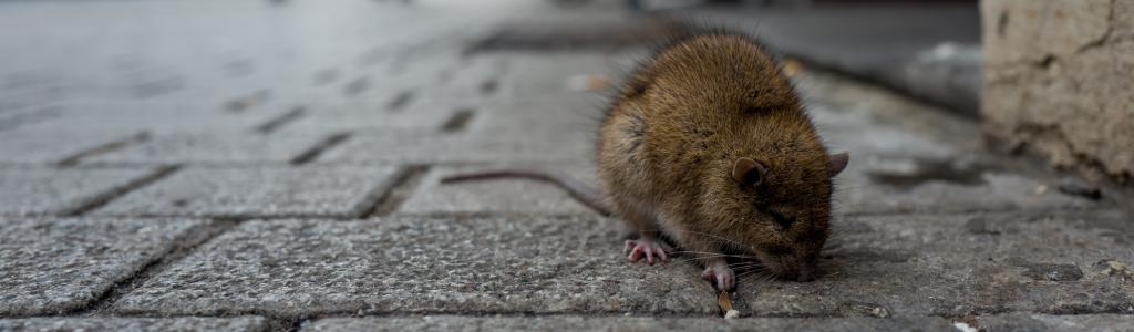 A sick rat on a sidewalk. Photo: Getty Images