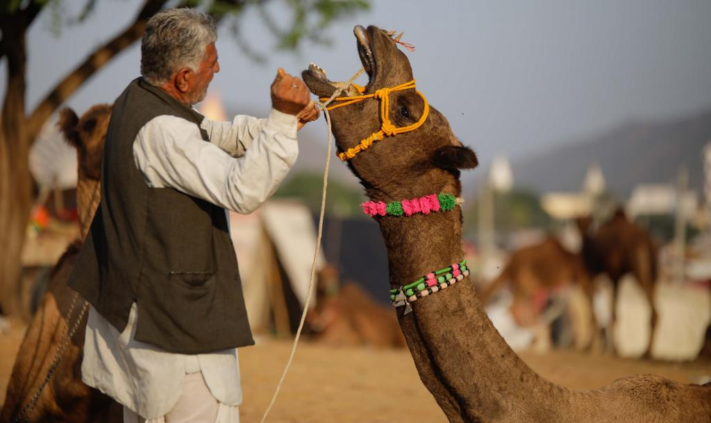 The low presence of camels at Pushkar comes even as the results of the 2018 National Livestock Census released recently noted as sharp drop in India's camel population. Photo by Vikas Choudhary