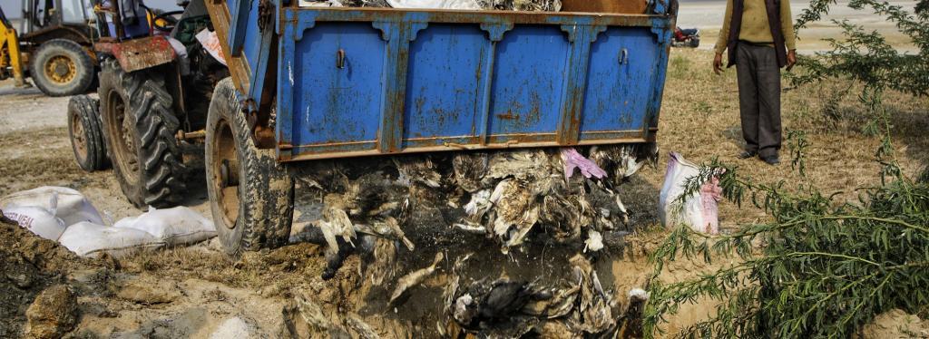 Dead birds being lowered into a mass grave in Sambhar. Photo: Vikas Choudhary