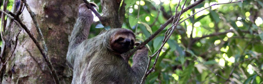 A brown-throated three-toed sloth in Costa Rica. Photo: Wikimedia Commons