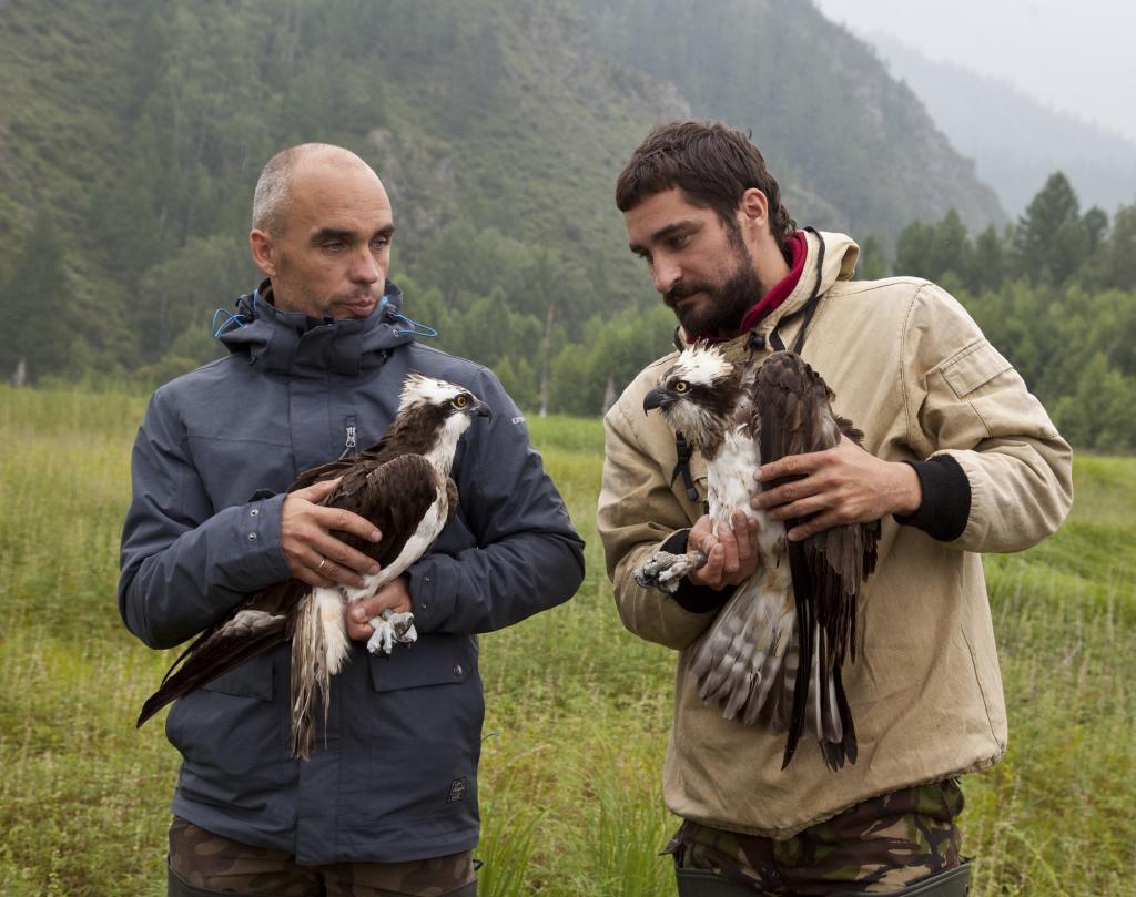 Ospreys are diurnal, fish-eating raptors that bond for life. Photo: Miroslav Babushkin