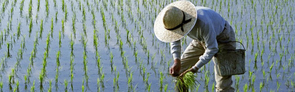 A rice paddy. Photo: Getty Images