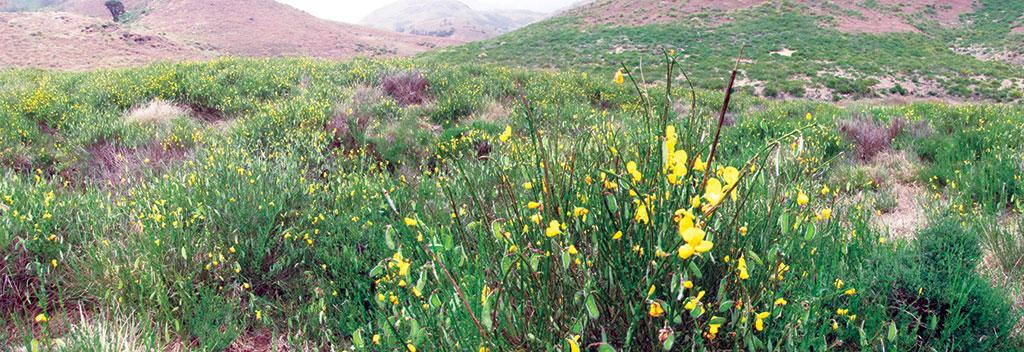 Scotch broom (right) have taken over 66 per cent of the Shola grasslands (Photograph: Vasant Godwin Bosco)