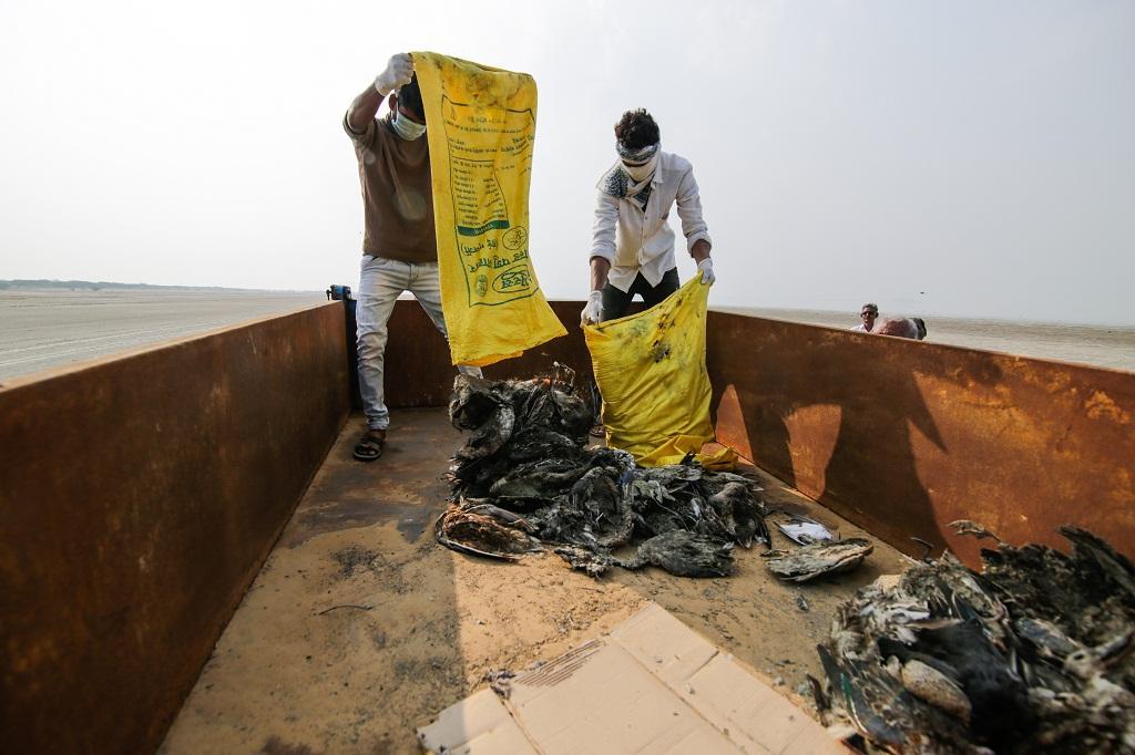 राजस्थान के सांभर झील में हजारों प्रवासी पक्षियों की मौत हो गई। फोटो: विकास चौधरी