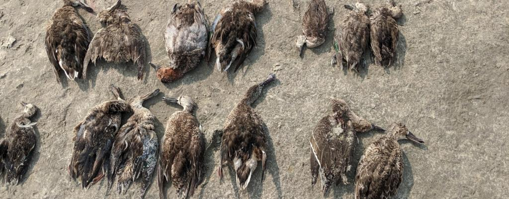Avian botulism caused the mass die-off of birds at Sambhar. Photo: Vikas Choudhary