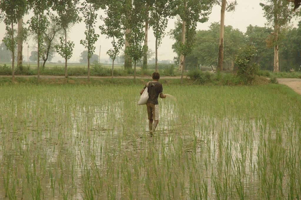 भारत में खेतों में रासायनिक उर्वरक डालने का चलन कम नहीं हो रहा है। फोटो: विकास चौधरी