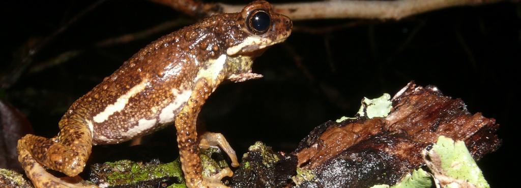 The Malabar Tree Toad. Photo: Harikrishnan S