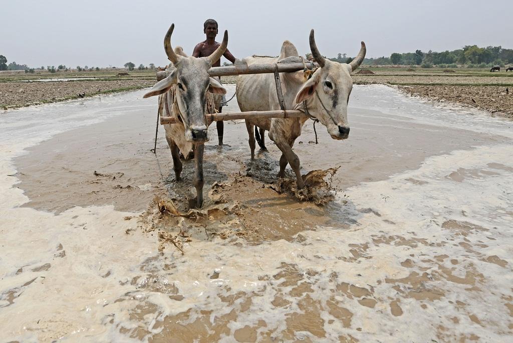 एक अध्ययन में कहा गया है कि भारत में कृषि उत्पादन बढ़ने के बावजूद फसलों की विविधता कम हो रही है। फोटो: विकास चौधरी