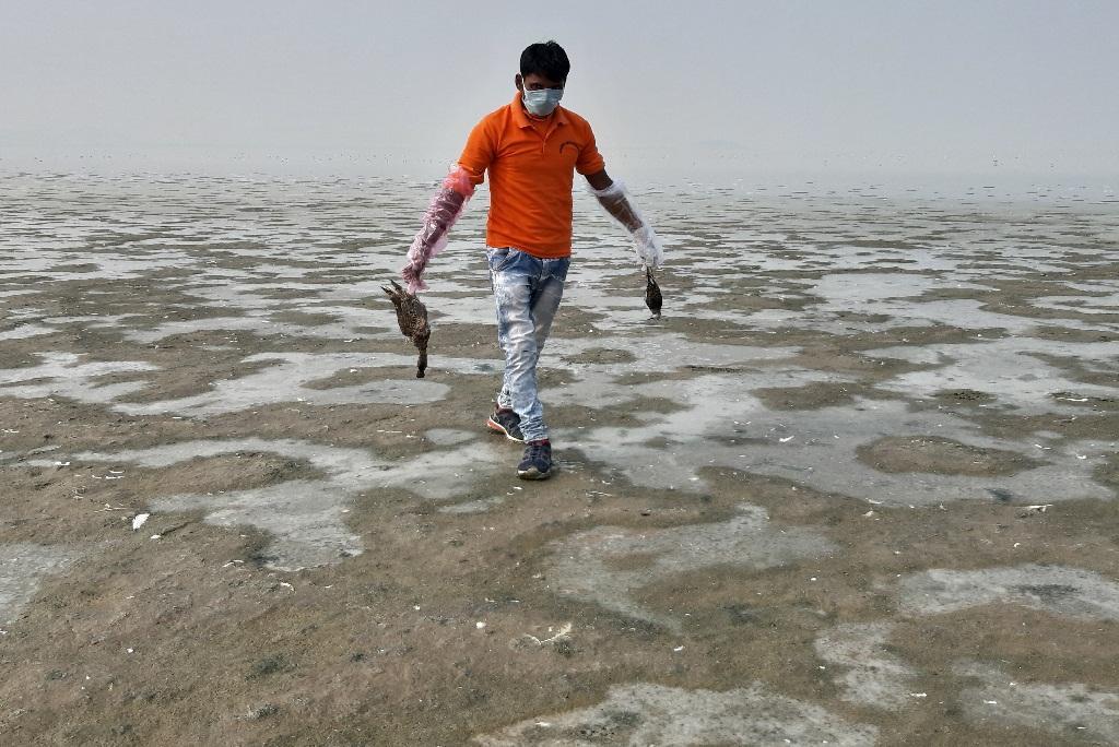 सांभर झील में मरे पक्षियों को इकट्ठा करता एक युवक। फोटो: माधव शर्मा