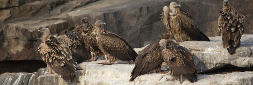 The vulture population in Gujarat has plummeted while it has increased in Madhya Pradesh. Photo: Getty Images