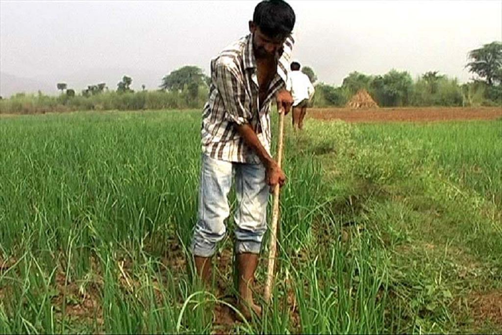 मेवात के फिरोजपुर झिरका इलाके में अपने खेतों में प्याज की फसल देखते हुए। फोटो: मलिक असगर हाशमी