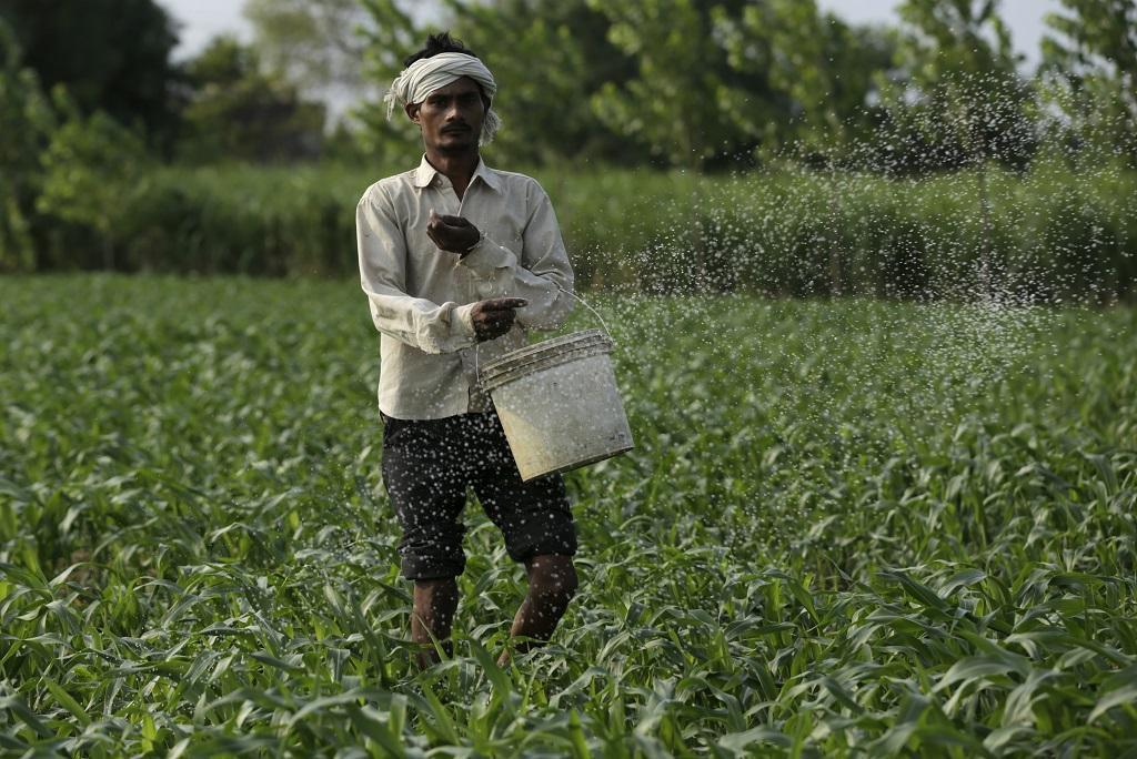 अपने खेतों में यूरिया डालता एक किसान। फाइल फोटो: विकास चौधरी