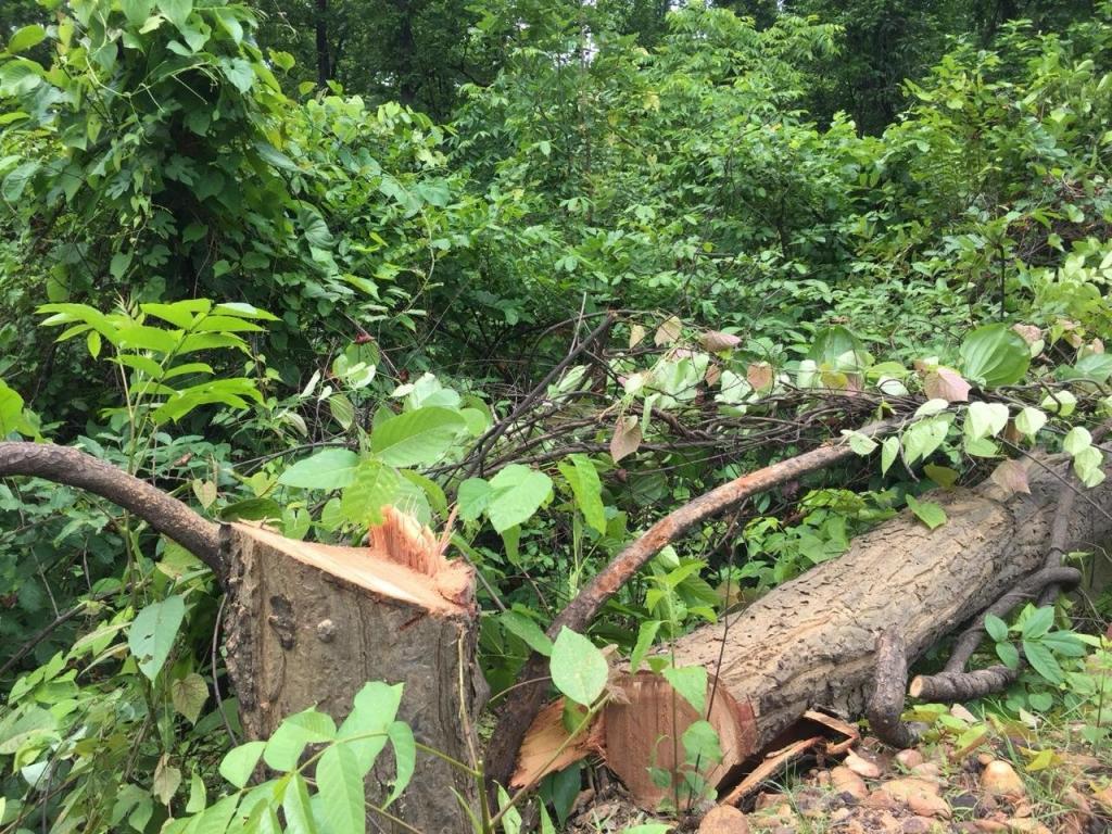 40,000 trees cut in Odisha's Talabira village to make way for coal mine