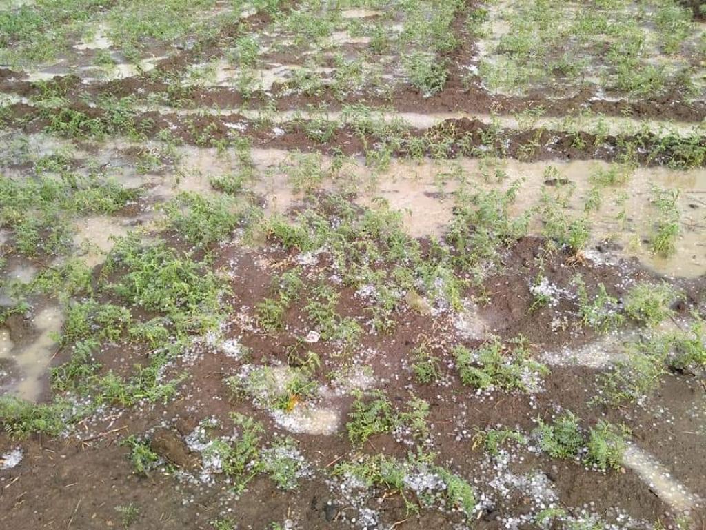 मध्यप्रदेश में ओले गिरने से चने की फसल बर्बाद हो गई है। फोटो: मनीष चंद्र मिश्र