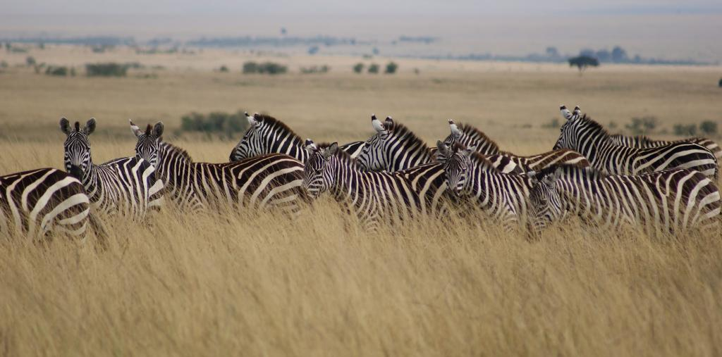 Zebras in Masai Mara Game Reserve. Photo: Flickr