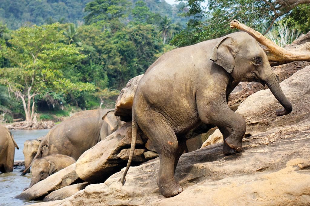 Adult elephants can climb steep hillsides in search for food