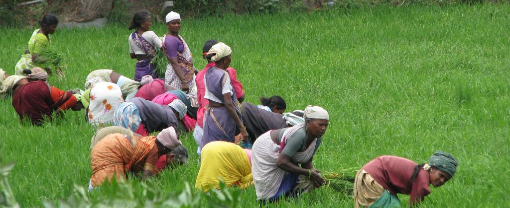 Women harvesting paddy in Tamil Nadu. Photo: Wikimedia Commons
