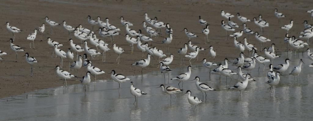 1 million migratory birds counted at Odisha's Chilika lake. Photo: Ashis Senapati