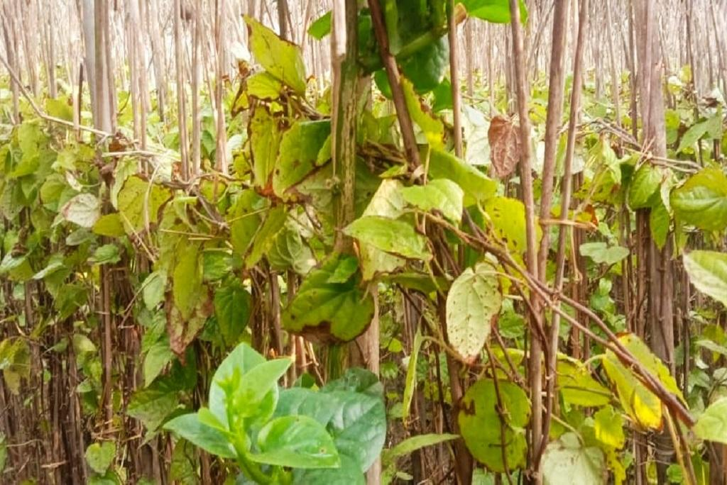 बिहार के नवादा के एक खेत में सर्दी के कारण झुलसे मगही पान के पत्ते। फोटो: उमेश कुमार राय