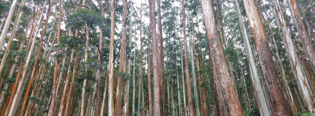 A eucalyptus plantation in the Nilgiris. Photo: Wikimedia Commons