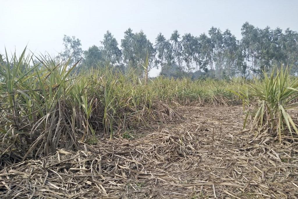 उत्तर प्रदेश के सुल्तानपुर इलाके में अब तक गन्ना नहीं कट पाया है, जिस कारण किसान गेहूं की बुआई नहीं कर रहे हैं। फोटो: बलिराम सिंह