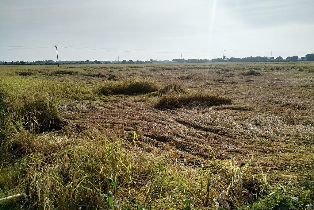 तमिलनाडु के विलियानूर जिले में बेमौसमी बारिश की वजह से धान की फसल को नुकसान हुआ है। फोटो: विनय ठाकुर