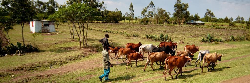 Kenya cattle drive. Photo: Greg Westfall / Flickr
