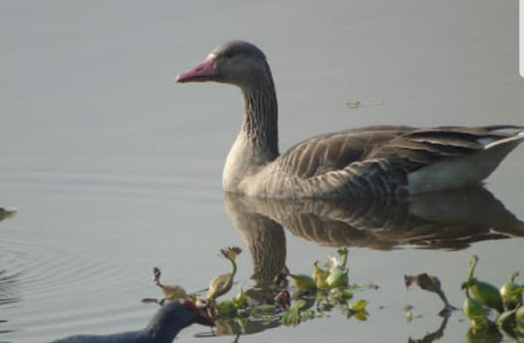 ओखला बर्ड सेंचुरी में काफी घट गई है प्रवासी पक्षियों की संख्या।फोटो: बिशन पपोला