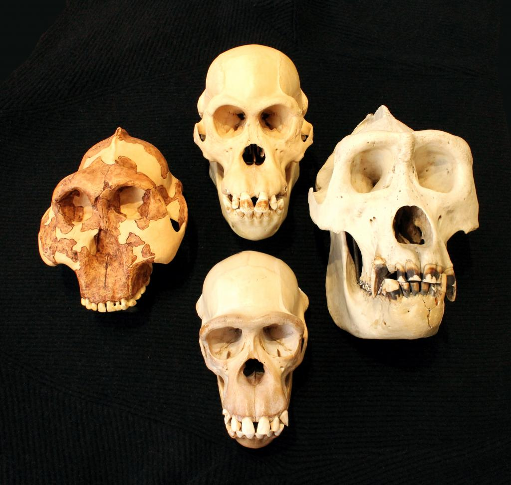 Skulls hold clues to intelligence. (Clockwise from left: Australopithecus, orangutan, gorilla, chimpanzee).   Photo: Roger Seymour