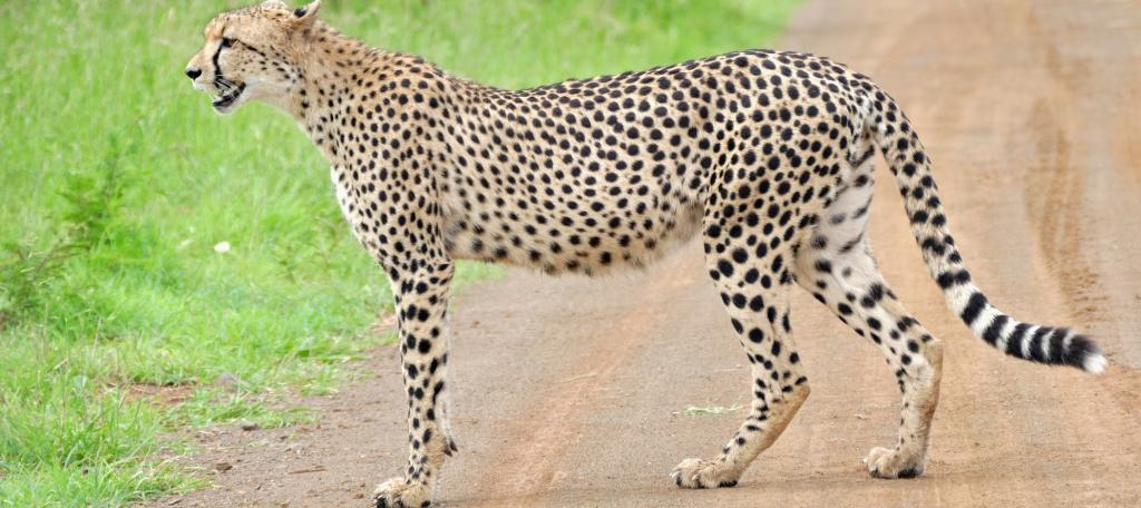 A cheetah in South Africa's Kruger National Park. Photo: Wikimedia Commons