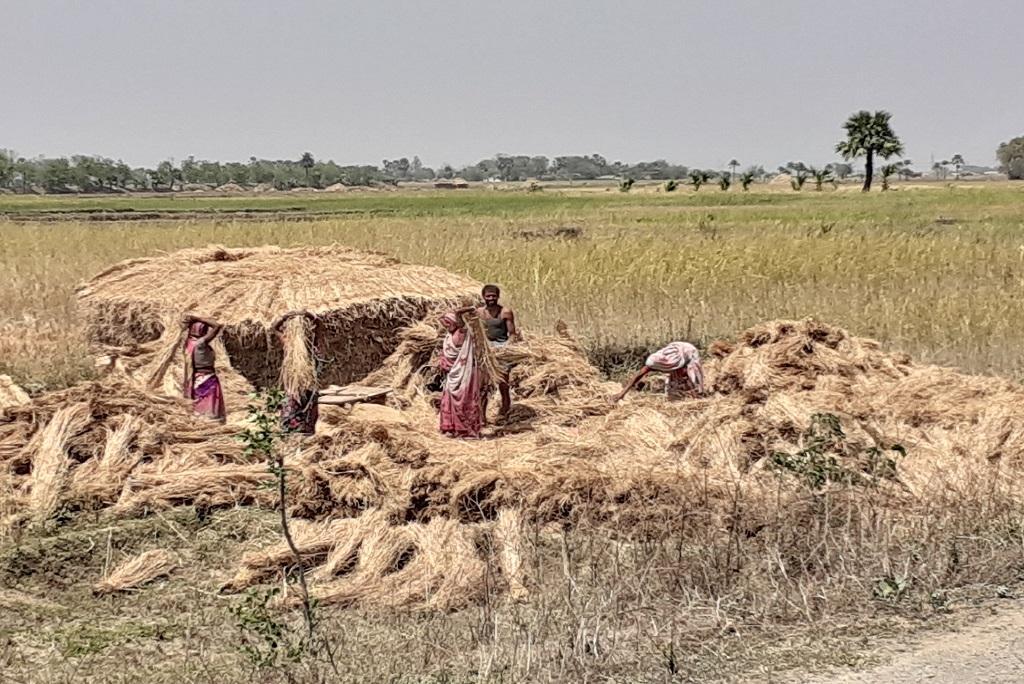 धान की फसल तैयार करते किसान। फोटो: पुष्यमित्र