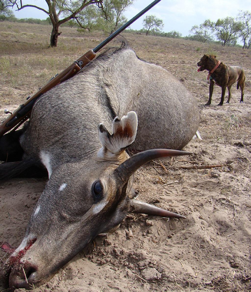 2016 में मारी गई एक नील गाय। फाइल फोटो: पुष्यमित्र