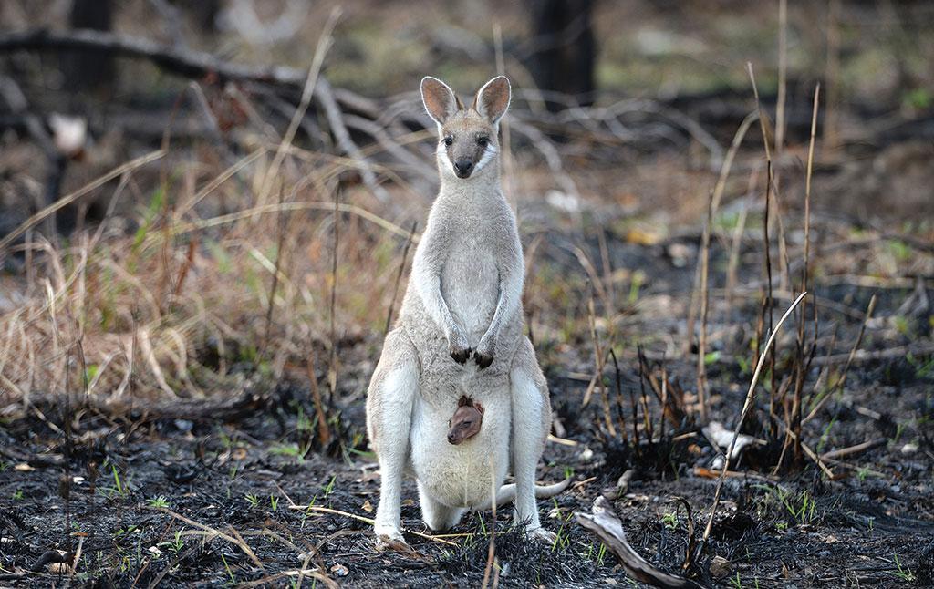 ऑस्ट्रेलिया के जंगलों में लगी आग ने जैव विविधता और पारिस्थितिक तंत्र को भारी नुकसान पहुंचाया है