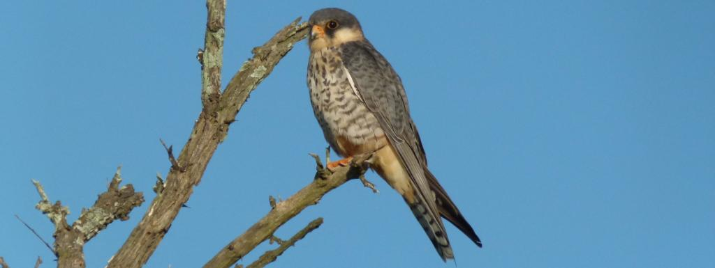 Amur Falcon. Photo: Wikimedia Commons