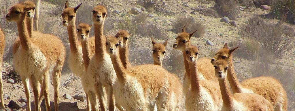 The vicuna, the Andean camelid species whose parts have been traded by India according to the report. Photo: Wikimedia Commons