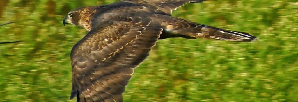 Raptor bird Goshawk. Photo: Wikimedia Commons