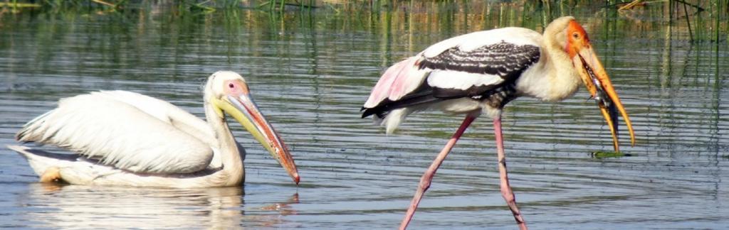 Pelican. Photo: pxhere
