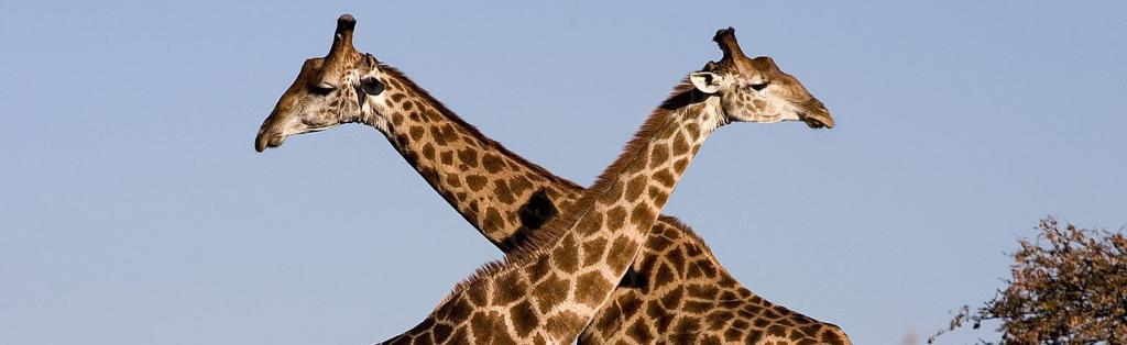 A pair of giraffes. Photo: Wikimedia Commons