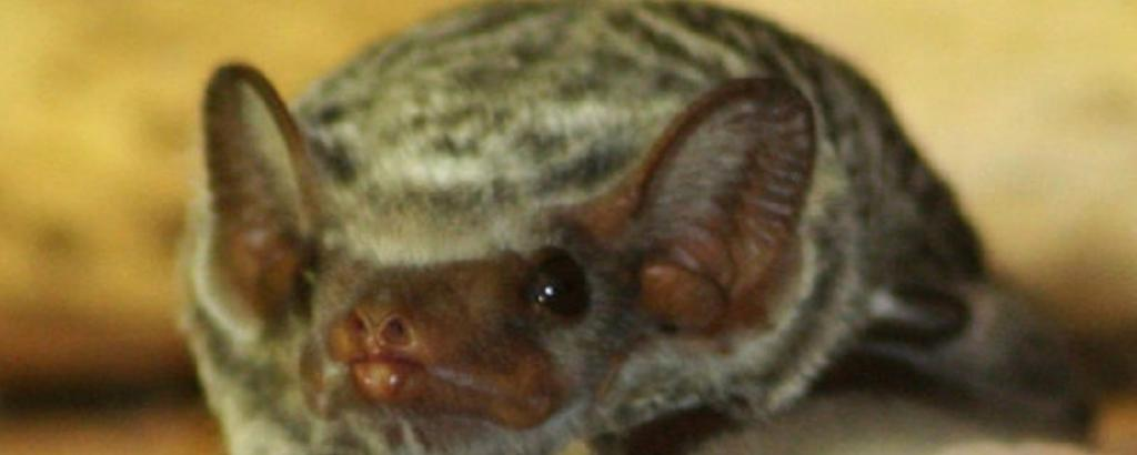 A Mauritian Tomb Bat. Photo: Wikimedia Commons
