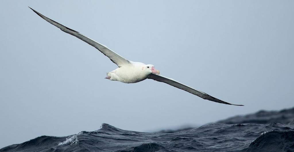 The Antipodean Albatross, found across the South Pacific Ocean, has also been included in Appendix I. The species has been facing threats including human-introduced domestic animals and rising sea temperatures. Photo: Wikimedia Commons