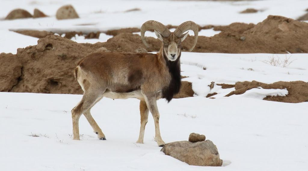 The Urial, a wild sheep found in Central Asia, Iran and South Asia, has been included in Appendix II. Photo: Wikimedia Commons