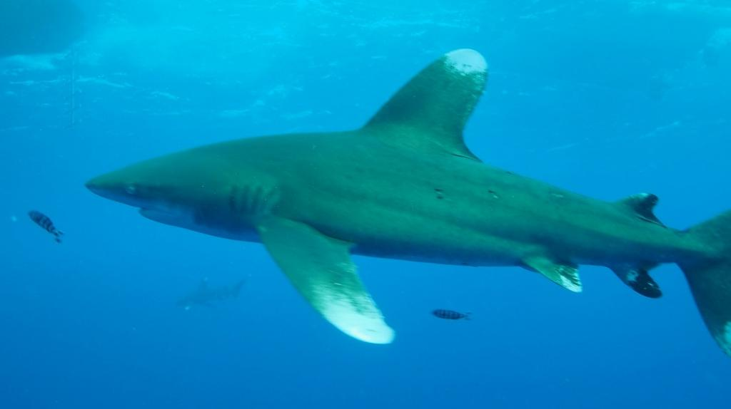 The Oceanic Whitetip Shark, which was included in Appendix I, has been threatened due to hunting for its fins used in shark fin soup. Photo: Flickr