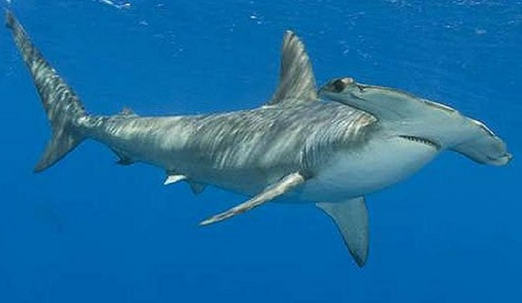 "Australia also objected to the EU's proposal to include the Smooth Hammerhead Shark in Appendix II, stating that the species is not migratory. ""Australia is a range state of Smooth Hammerhead sharks and we are puzzled as to by we were not consulted before the proposal as made. If we had been consulted, we could have provided a lot of information and that would have made the proposal better,"" the Australian delegation told the secretariat. However, the EU's proposal was accepted in the end. Photo: Pinterest"