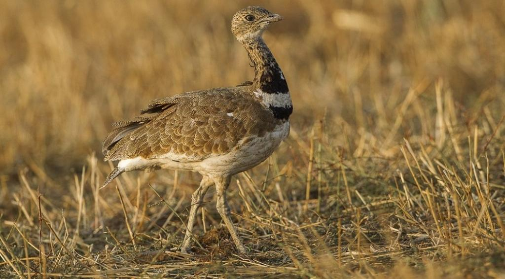 The Little Bustard, from Southern Europe, too has been included in both appendices. The recommendations will now finally be confirmed at the CMS's Plenary on the last day of the last day of the CoP on February 22. Photo: Wikimedia Commons