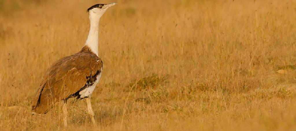 Article III (5) of the Convention prohibits countries which are party, from taking Appendix I-listed species and defines a narrow set of exceptions to this obligation. The Great Indian Bustard is another of the three Indian species in Appendix I. Photo: Wikimedia Commons