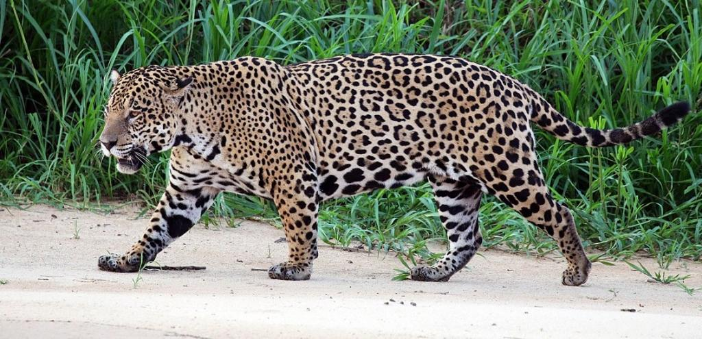 The Jaguar, the great cat of the Americas, has been included in both appendices. Photo: Wikimedia Commons