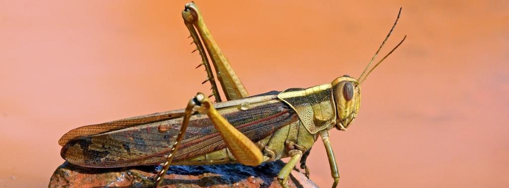 Locusts have spread to nine countries in east Africa Photo: Wikimedia Commons