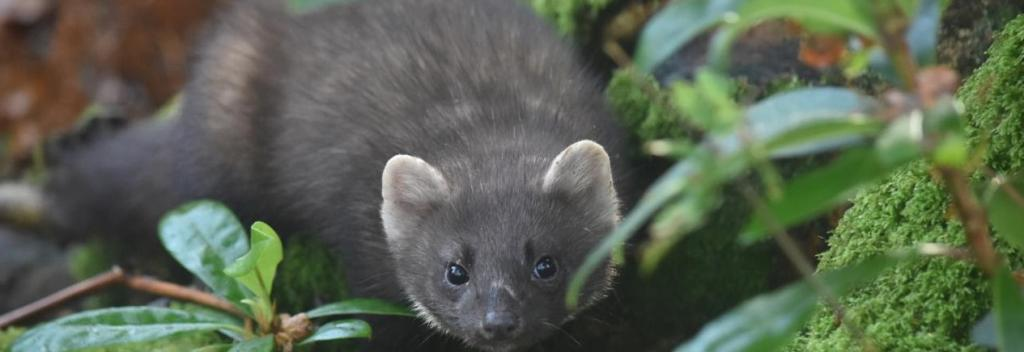 A pine marten. Photo: Queen's University, Belfast, UK